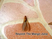 mang-mao-insect-thailand