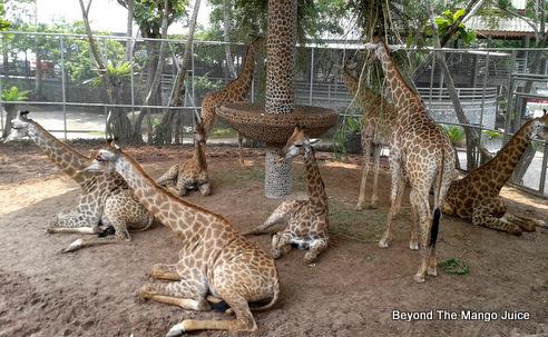 giraffe-million-years-stone-park-pattaya
