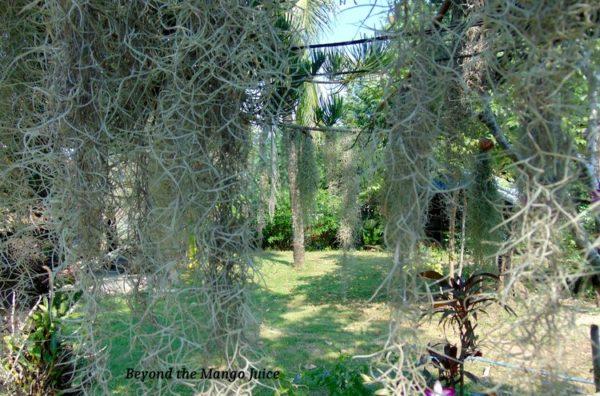 Spanish moss in a lush green Thai garden